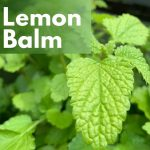 Herbal Medicine Benefits of Lemon Balm