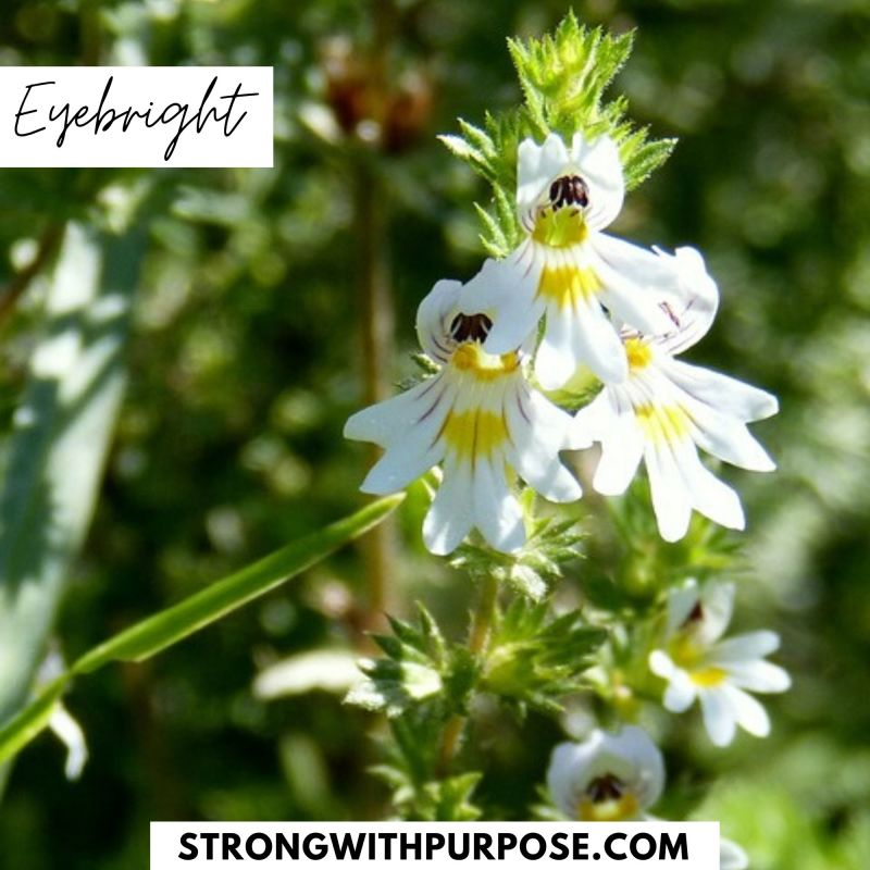 Eyebright - 5 Natural Remedies to Improve Your Eye Health - Strong with Purpose