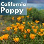 Herbal Medicine Benefits of California Poppy