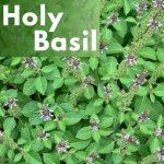 Herbal Medicine Benefits of Holy Basil