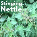 Herbal Medicine Benefits of Stinging Nettle