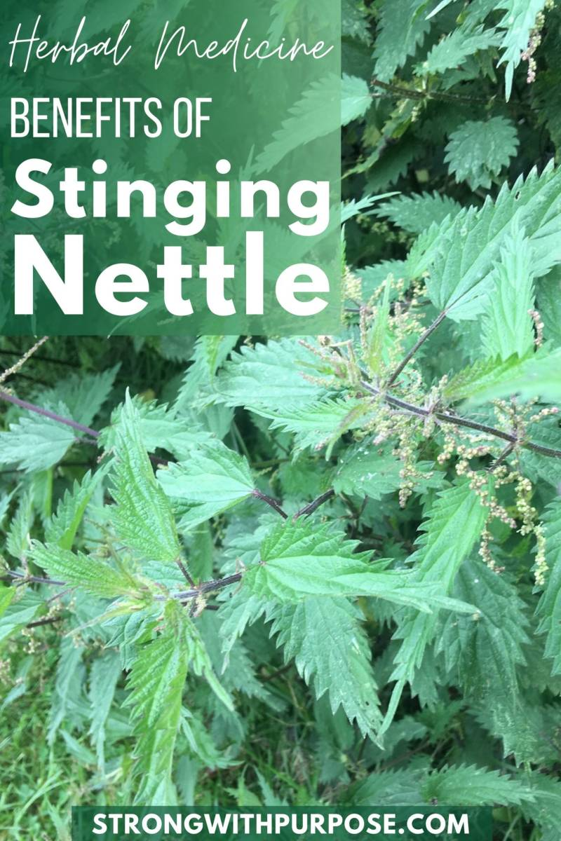 Herbal Medicine Benefits of Stinging Nettle - Strong with Purpose